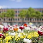 Klaipeda tulips, Photo - M. Mitchell
