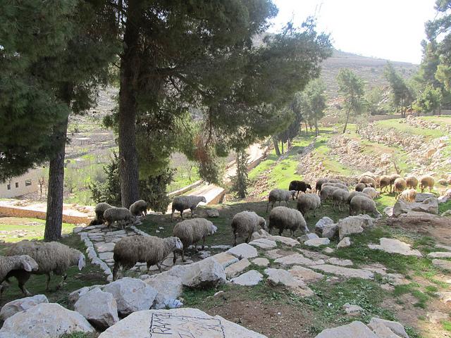 Sheep, Palestine