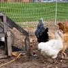 There are several happy chickens that roam inside the compost ar