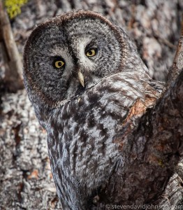 Great gray owl, Lincoln, Oregon.