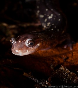 Cow Knob Salamander, Reddish Knob, Virginia